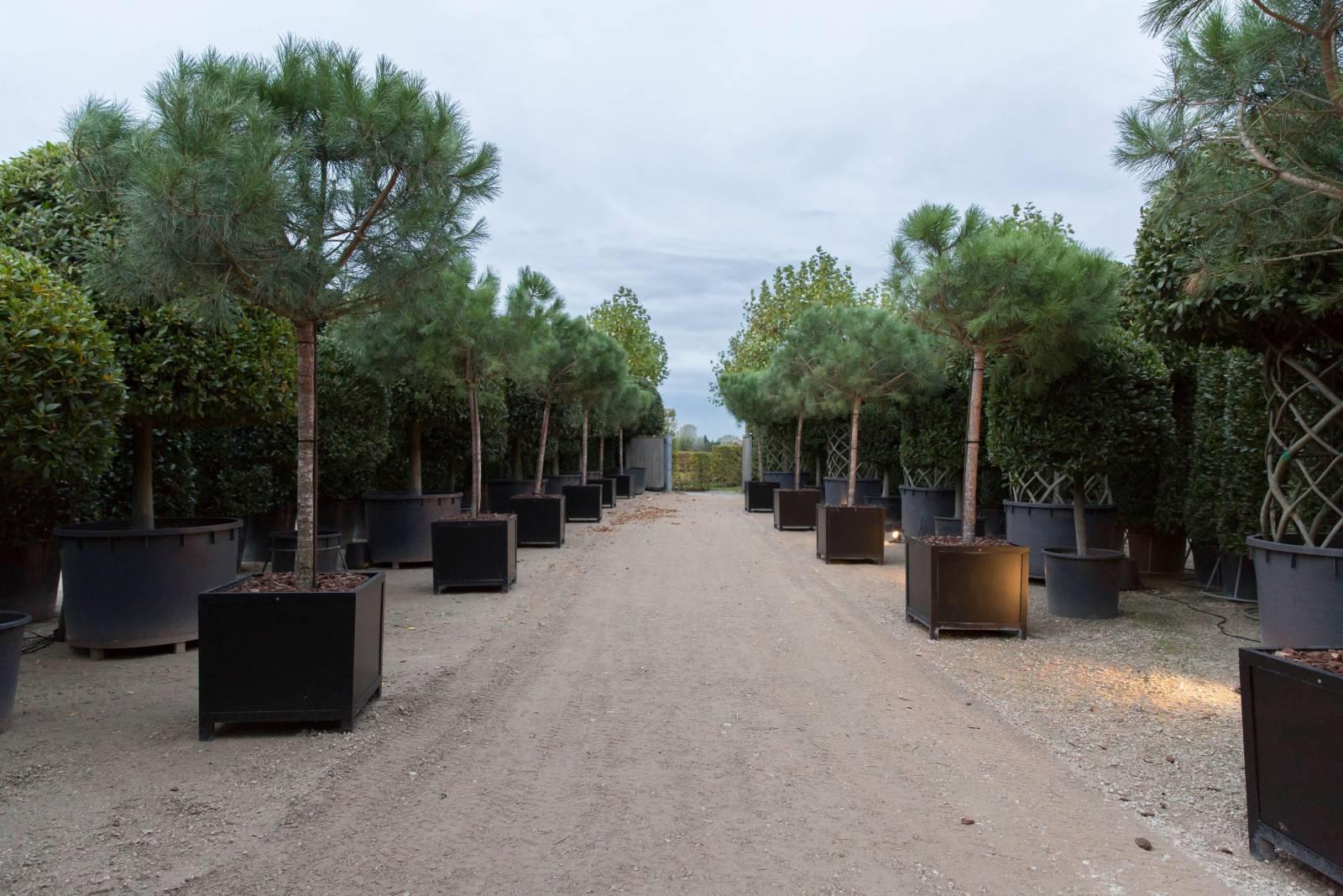 pinea op stam (1)